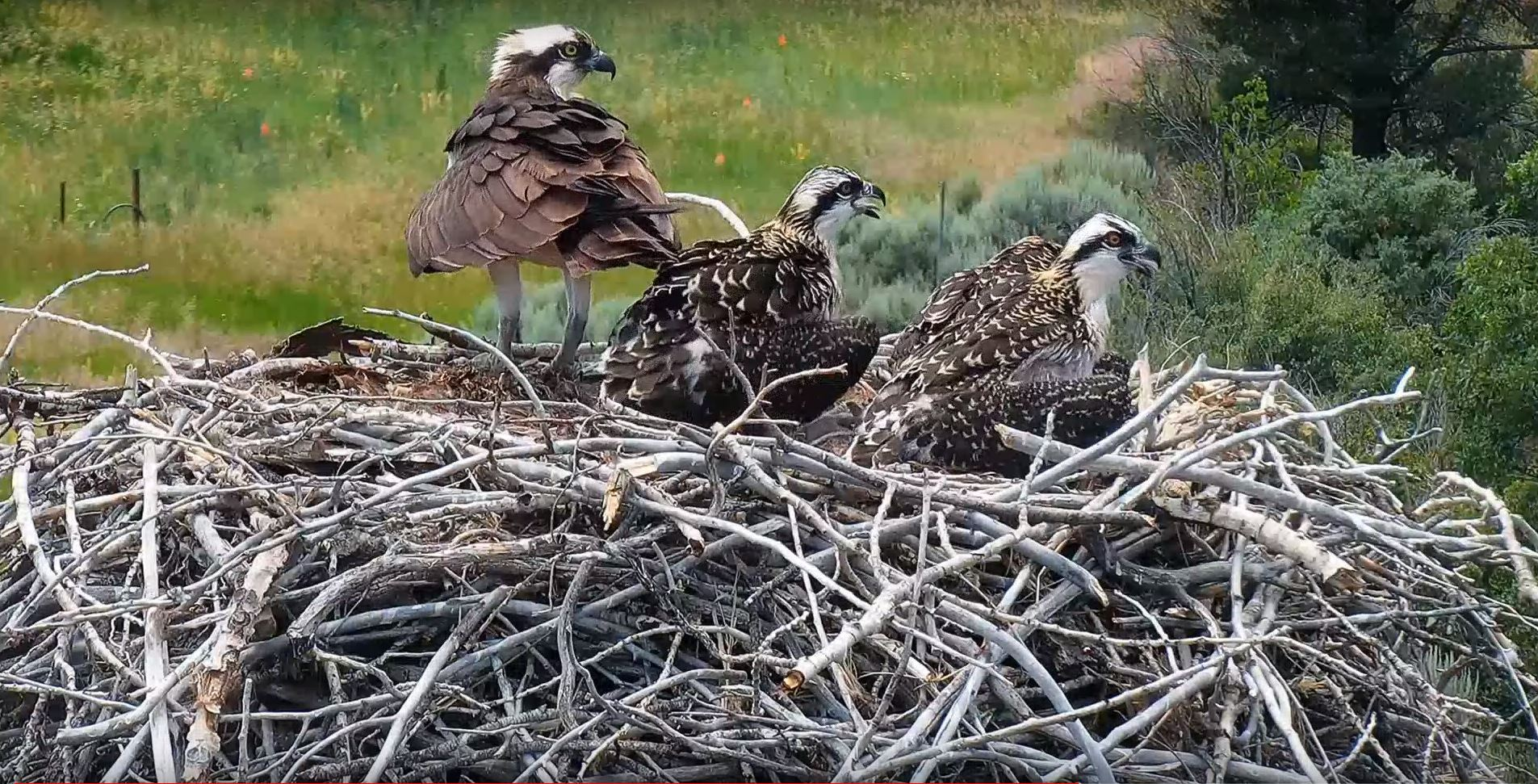 Capture - Osprey